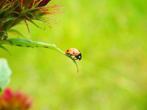 ladybug-1271964__340
